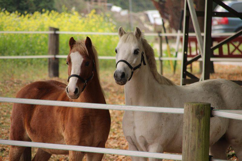 Fahrstall Goldbusch Pony Welsh